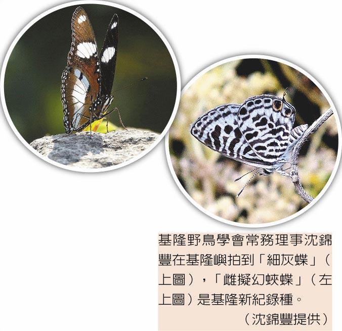 基隆野鳥學會常務理事沈錦豐在基隆嶼拍到「細灰蝶」(右圖),「雌擬幻蛺蝶」(左圖)是基隆新紀錄種。(沈錦豐提供)