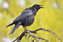 恐佈烏鴉滿身肌肉 站立如黑猩猩