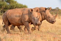 科學家試用「代理孕犀」 搶救滅絕白犀牛