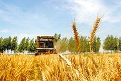 陸破解全球首例 古小麥全基因組