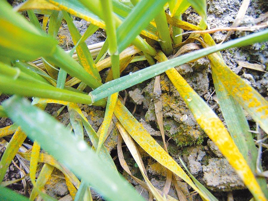 染有條鏽病的小麥。(新華社資料照片)