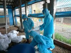 禽流感本土化 飆高溫大城土雞場撲殺26960隻雞