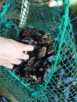 馬祖淡菜、牡蠣送驗  未檢出麻痺性貝類毒素