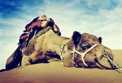 為何駱駝敢吃仙人掌 還能大口享用