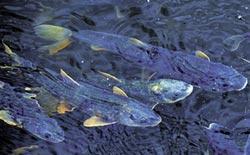 湟魚洄游產卵奇觀 重現青海湖
