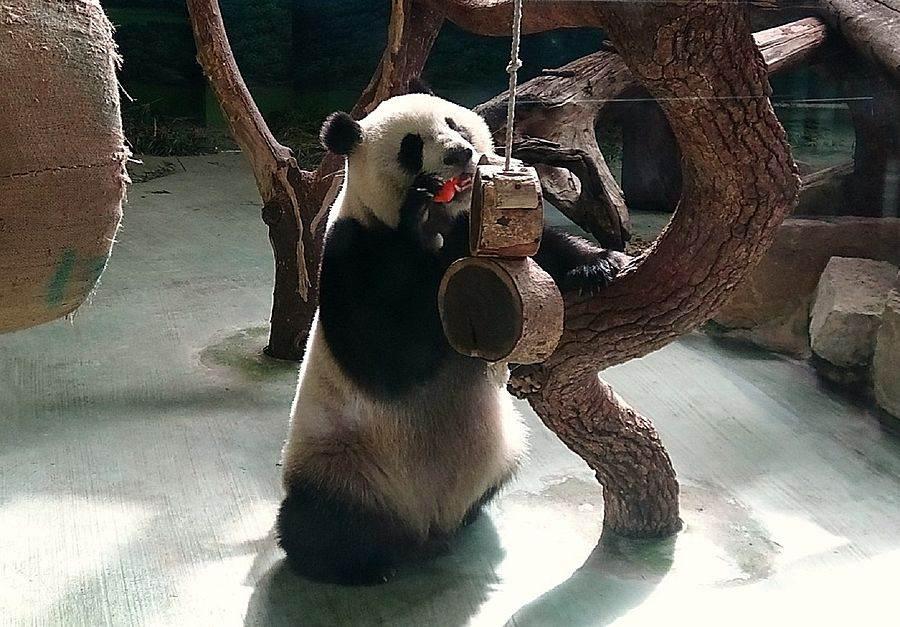 10天不見,超想念大家的!(「圓仔」)。(台北市立動物園提供)