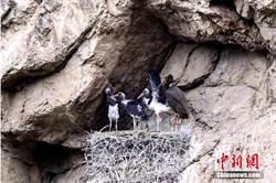 青海省發現世界瀕危珍禽黑鸛築巢育子