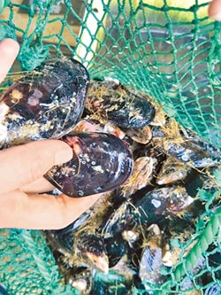 馬祖淡菜牡蠣 未檢出貝毒