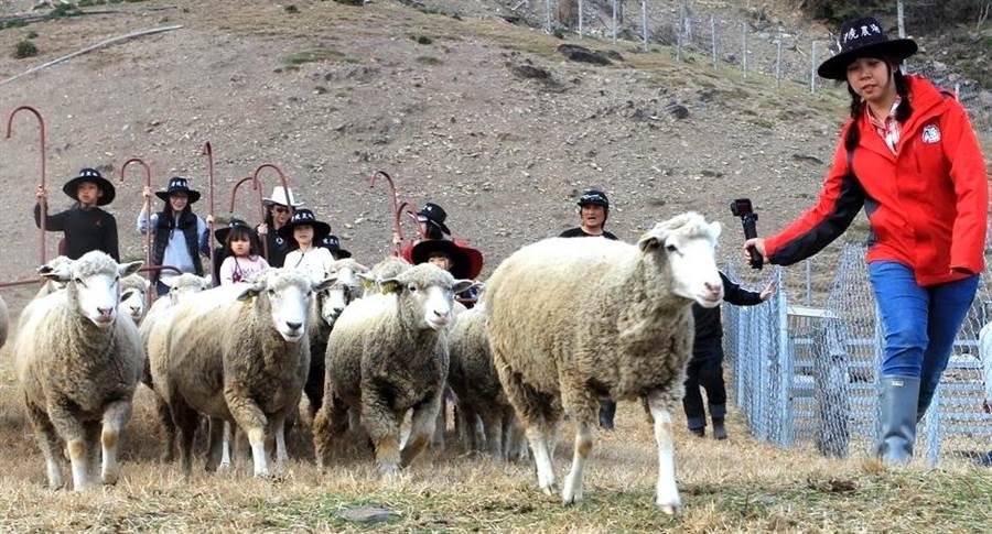 ▲清境農場首度推出「一日牧羊人體驗」,讓遊客體驗放羊、收羊、趕羊樂趣。(楊樹煌攝)