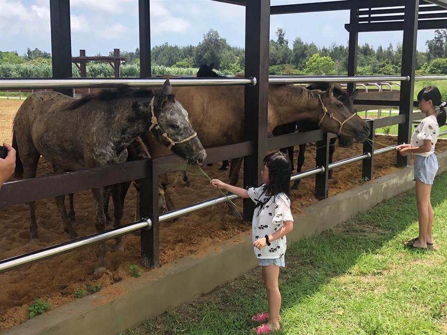 金門畜試所也是小小動物園,小朋友開心餵食馬兒牧草。(李金生攝)