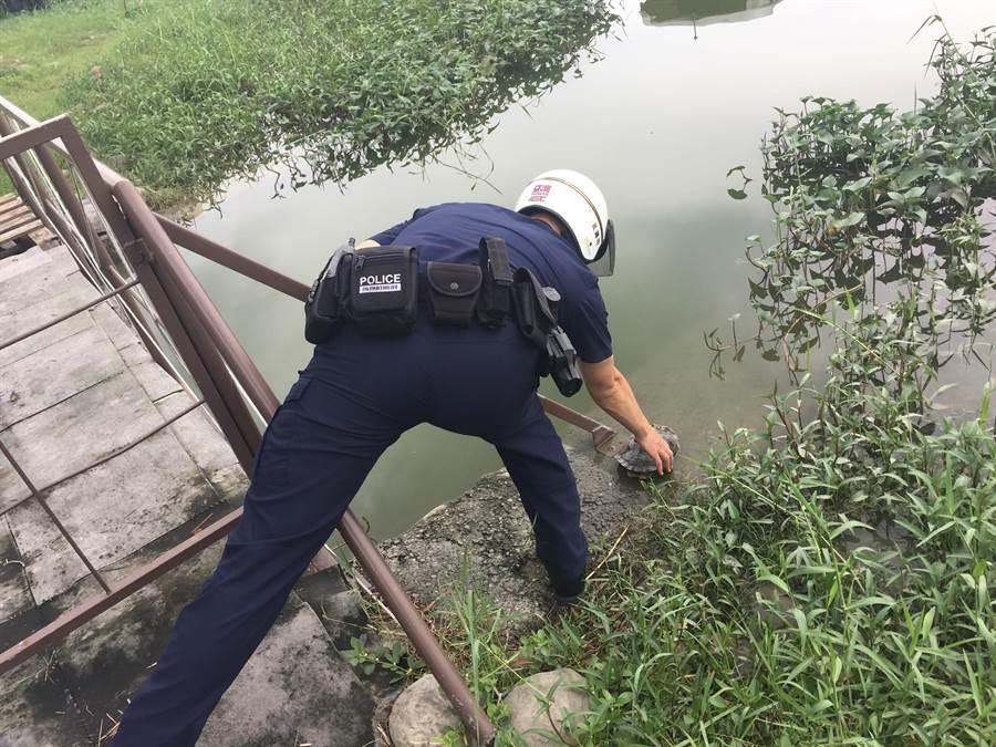 高雄市左營派出所警員徐偉仁將烏龜從車道救起,免去被車輛輾壓的危難,將牠放置在蓮池潭的池塘邊。(林瑞益翻攝)