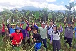 高樹芋頭進入盛產期  興起社區輕旅行