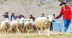 清境風起飛羊 體驗1日牧羊人