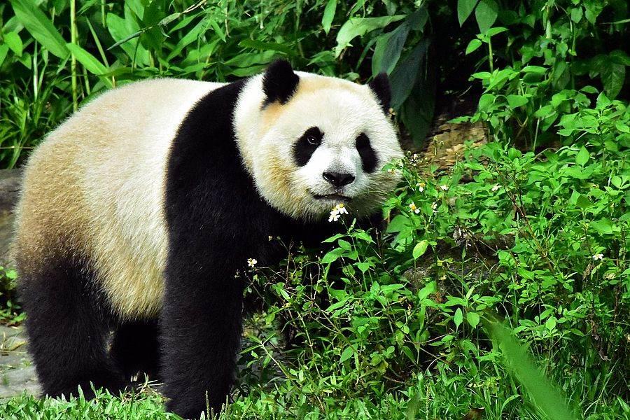 大貓熊「圓仔」的6歲生日願望~~希望媽媽明年能順利添弟妹!(台北市立動物園提供)
