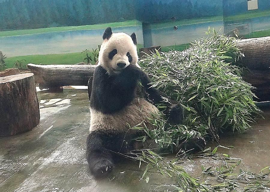 「團團」:歡迎大家提早先將生日賀卡掛上,為「圓仔」6歲生日暖壽。(台北市立動物園提供)