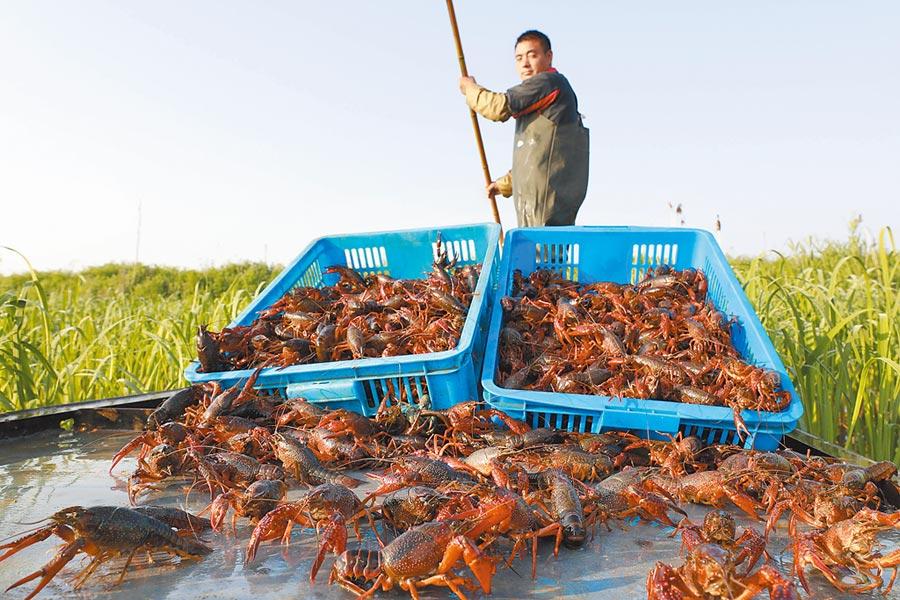江蘇淮安市盱眙縣,養殖戶將收穫的小龍蝦運上岸。(新華社資料照片)