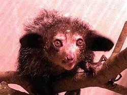 「死亡使者」飛抵來台!指猴將在北市動物園亮相