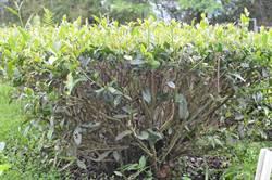 台茶23號定名「祁韻」 瞄準年輕世代紅茶市場