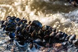 空前熱浪襲美 貽貝被海水「煮熟」