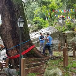 谷關「斷臂」千年五葉松巨木岌岌可危 讀者投書求救