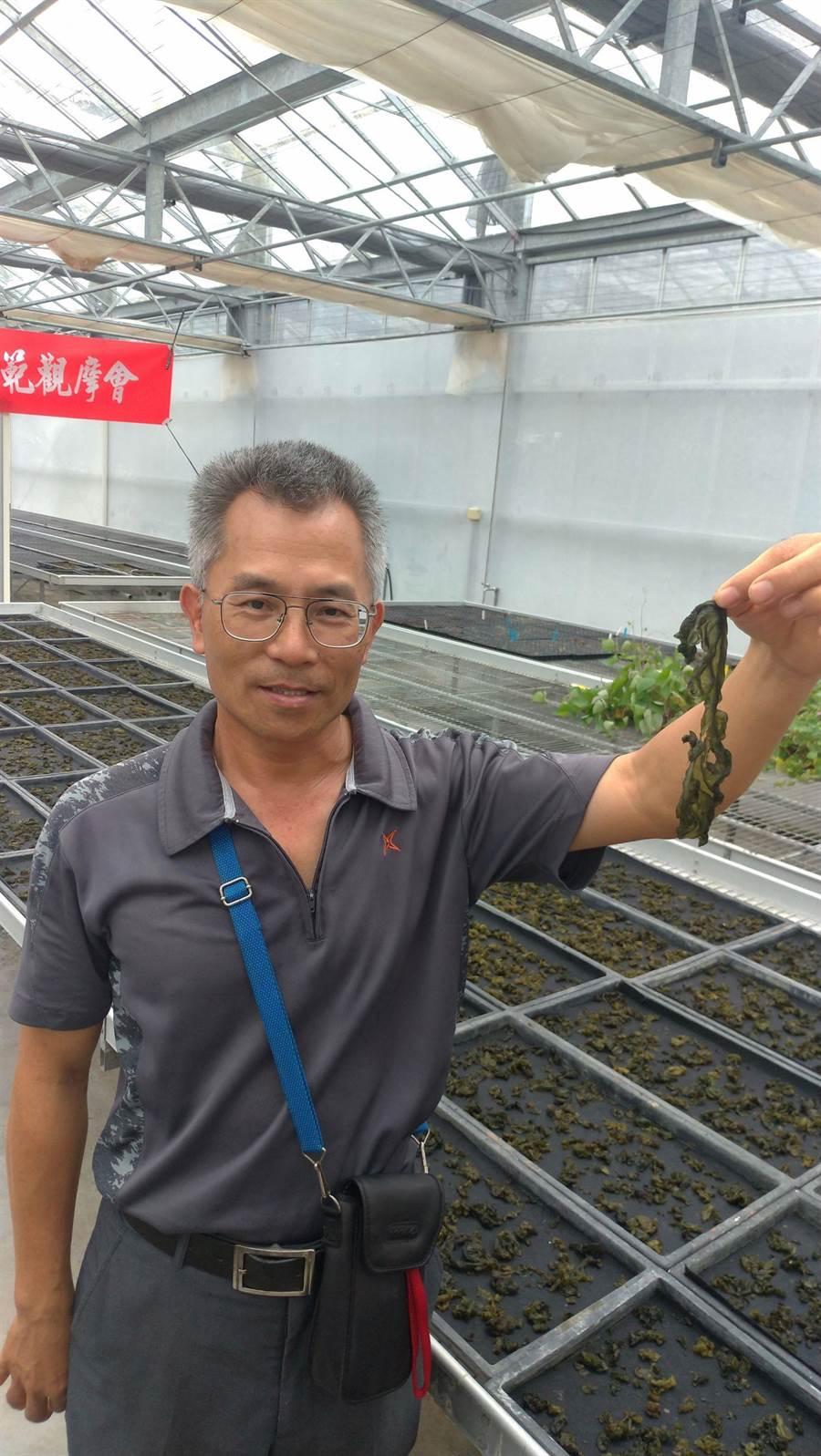 原住民野菜陸生藍綠藻營養價值高,農改場推動改良增加產量。(許家寧攝)