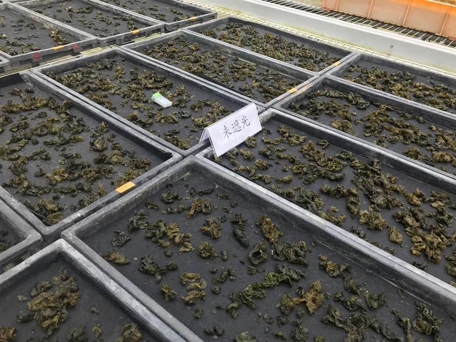 花蓮農改場以黑色不織布、雜草抑制蓆、碎石、砂質土壤分別栽培試驗,發現雨來菇在不織布生長最佳。(許家寧攝)