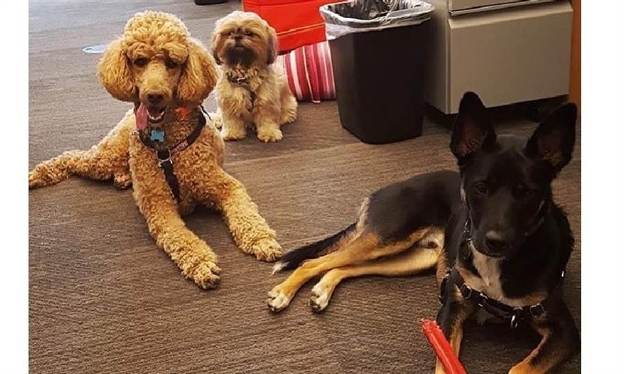 辦公室就是牠們的遊樂場!亞馬遜西雅圖總部為園區內的狗狗開設專屬IG帳號,「毛員工」比人類員工還受矚目。圖片來源:dogsofamazon IG