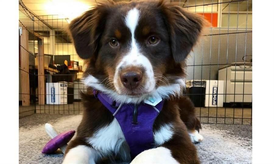 「今天是我第一天上班喔!」亞馬遜西雅圖總部內的狗狗,各個都是正式登記註冊的員工。圖片來源:dogsofamazon IG