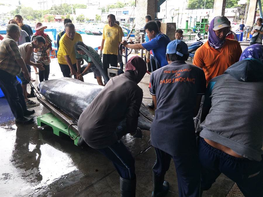 高達5百公斤重的白皮旗魚必須超過10個大人才拖得動。〈翻攝新港區漁會臉書〉