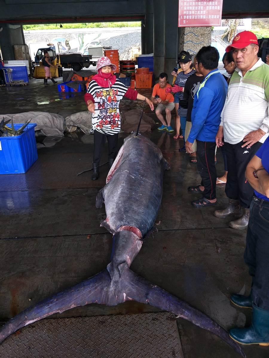 台東成功漁港捕獲的超級大旗魚,身長將近3公尺。〈翻攝新港區漁會臉書〉