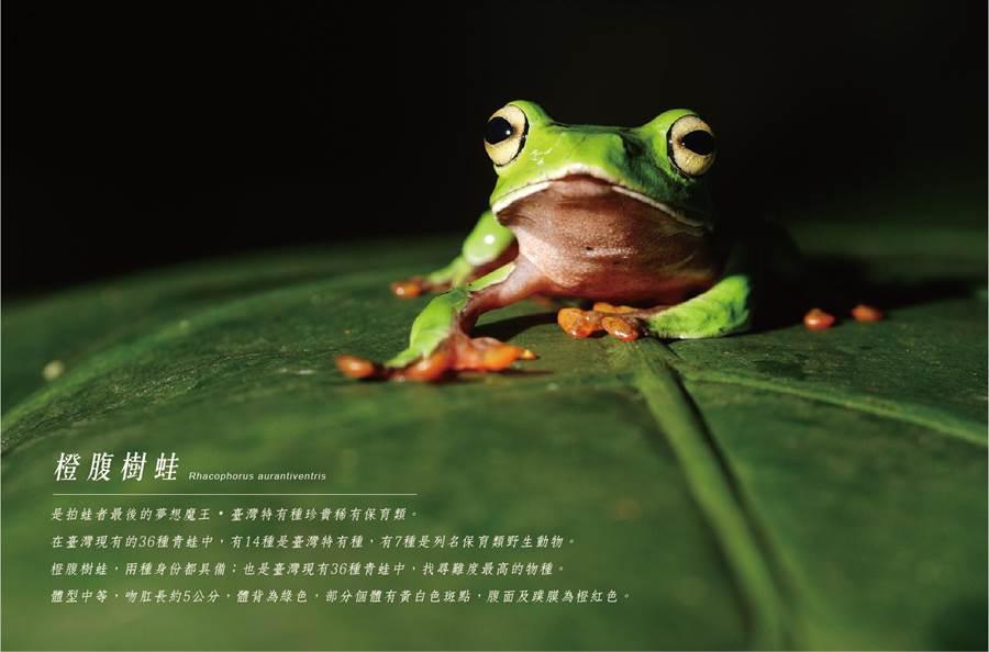 「一平方公尺的宇宙.樹屋有蛙-大型阿生青蛙攝影展」,7月6日起將在安平樹屋開展,圖為橙腹樹蛙。(曹婷婷翻攝)