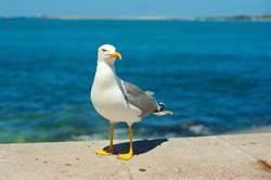 驚見黃金海鷗飄異香 獸醫一聞驚了