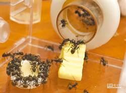 小黑蟻猖獗! 竹山鎮公所自製餌劑滅蟻