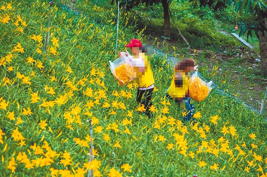 采摘针金花,炸给游客吃,引起轩然大波。