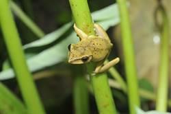尋斑大搜查 北市邀民眾認識斑腿樹蛙