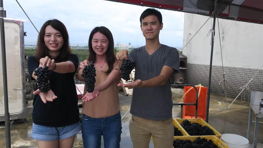 二林鎮西斗社區首度推出釀酒深度之旅,吸引年輕族群報名體驗,剛採摘下的黑后葡萄香氣逼人。(謝瓊雲攝)