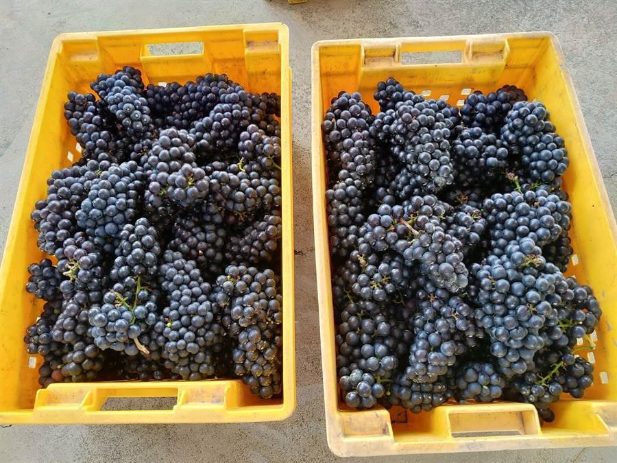 剛從葡萄園裡採摘下來的黑后葡萄,果粒雖小香氣逼人,是用來釀製紅酒的專屬品種。(謝瓊雲攝)