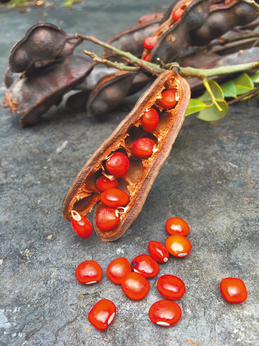 台灣紅豆樹的種籽光亮、質硬,色澤美麗。(本報系資料照片)
