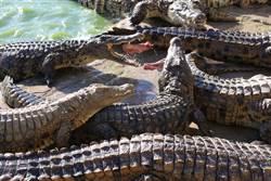 情侶湖畔約會 驚見鱷魚群啃腐屍