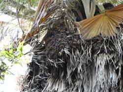 仲夏7月 快來鰲鼓濕地森林園區賞蝠趴趴走