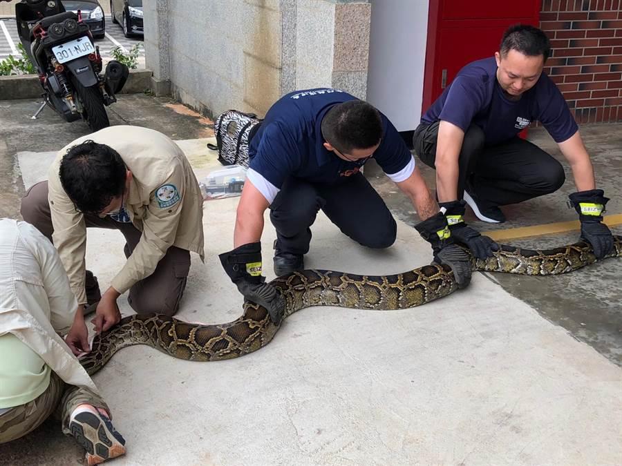 金寧鄉慈湖農莊捕獲體長383公分、體重24.3公斤的母蛇,為金門自2010年開始進行蟒蛇相關研究以來的最大個體。(李金生攝)