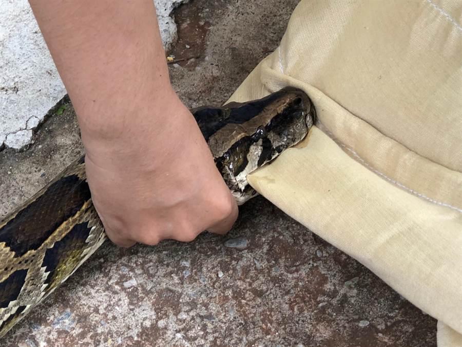 受到驚嚇和憤怒的大母蛇緊咬袋子不放。(李金生攝)