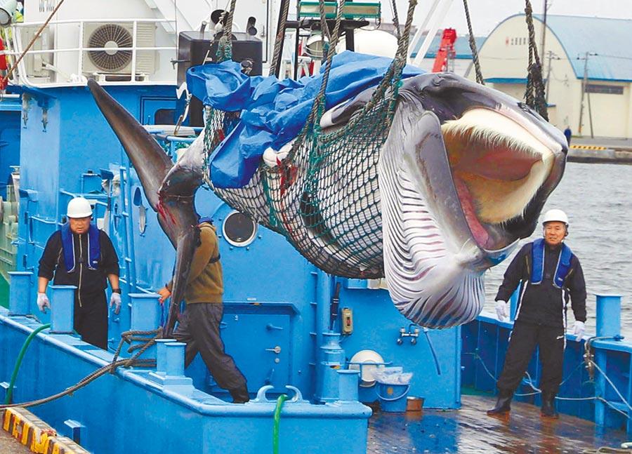 一艘捕鯨船1日在北海道釧路市一個碼頭將捕獲的一頭小鬚鯨卸下。日本從當天起,重新啟動中斷31年的商業捕鯨活動。(路透)