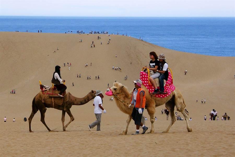鳥取砂丘享受騎駱駝樂趣。圖:華信提供
