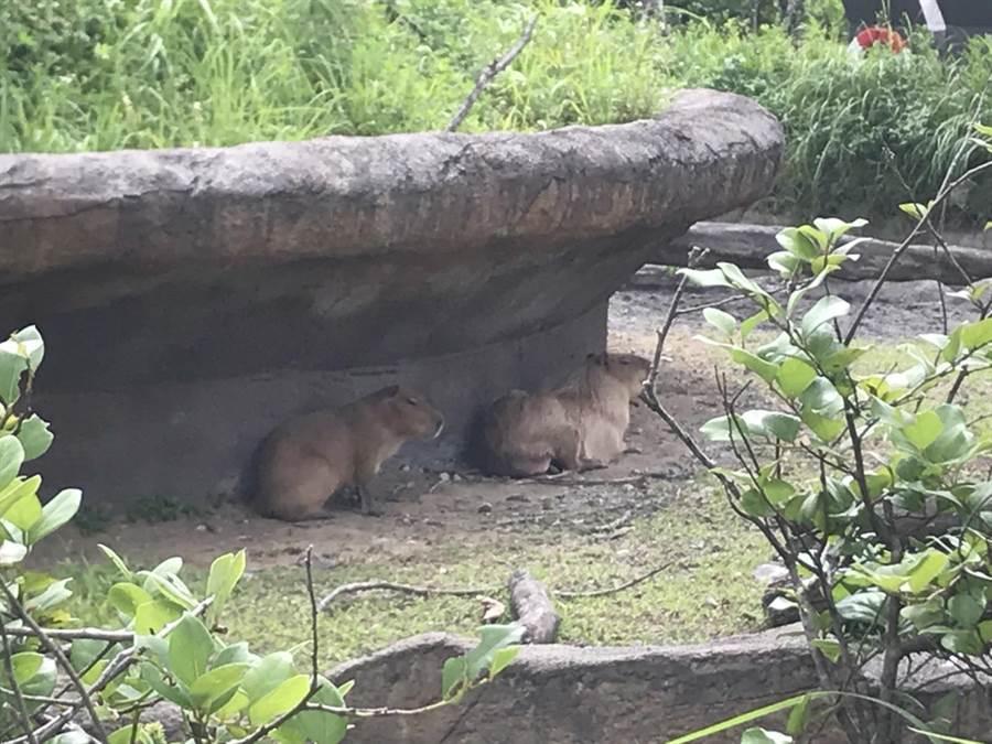 台北市動物園熱帶雨林館歷時13年規畫,將在9日正式開放民眾參觀,民眾可近距離觀賞水豚、馬來貘等超Q動物。(李依璇攝)