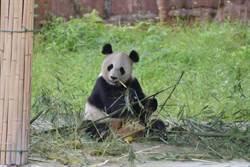 近距離互動大熊貓 台生驚呼連連