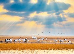 黃(渤)海候鳥棲息地 體現陸綠色發展