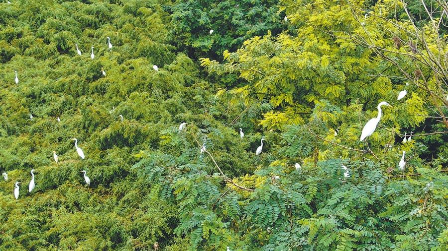 保護區引來許多白鷺棲息。