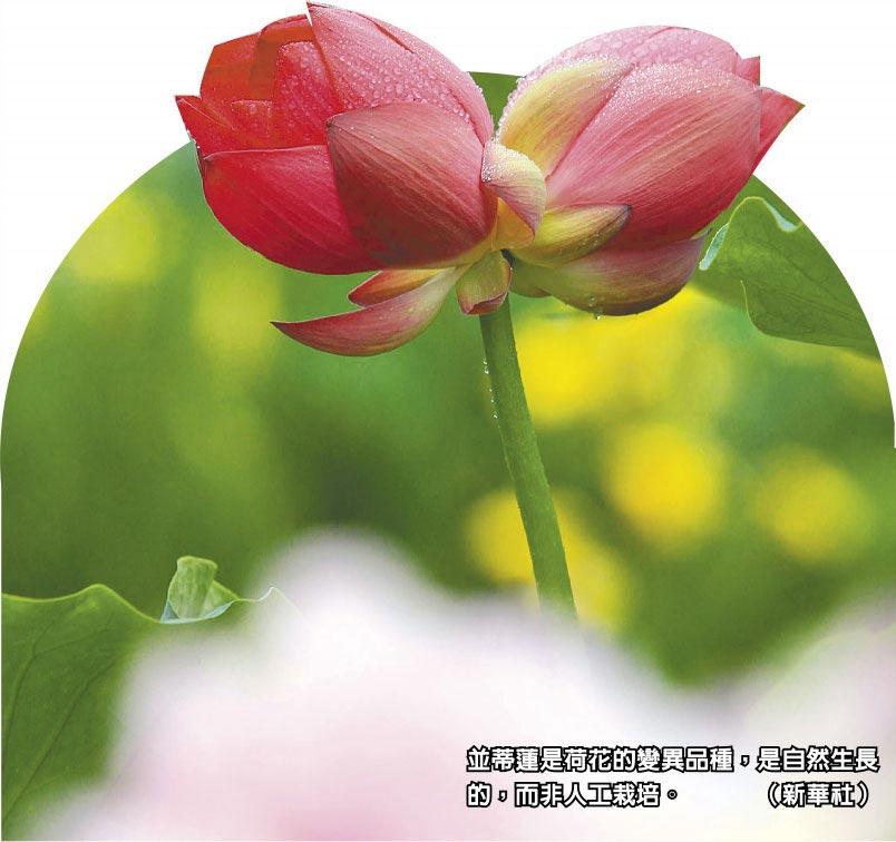 並蒂蓮是荷花的變異品種,是自然生長的,而非人工栽培。(新華社)