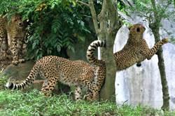 獵豹跳樹被同伴「扯後腿」卡死 厭世表情笑翻23萬網友